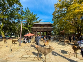 The sacred deer of Nara.